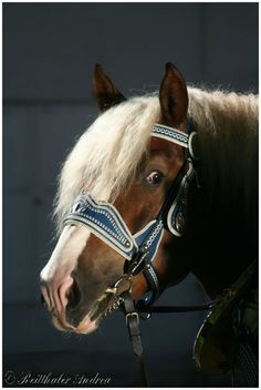 decorative headcollar for coldblood horses with detachable bit (horse: South-German Coldblood)