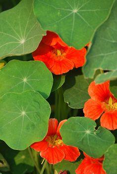 Green and Orange Nasturtiums ~ photo by Jennifer P. Zduniak on redbubble.com.