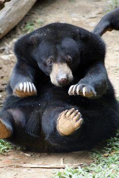 **Malay (Malaysian Sun Bear): Lok Kawi Wildlife Park in Borneo, Malaysia.