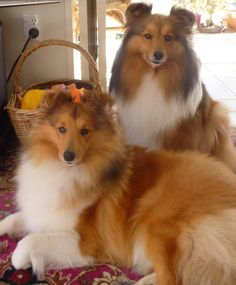 Beauty and grace! #dogs #pets #Shelties Facebook.com/sodoggonefunny