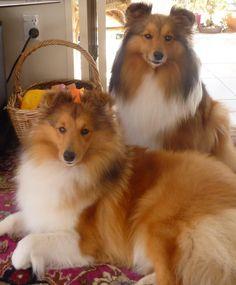 Beauty and grace! #dogs #pets #Shelties Facebook.com/sodoggonefunny