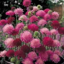 Knautia Macedonica Melton Pastels Knautia macedonica 'Melton Pastels' - Google Search