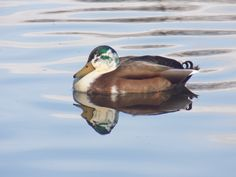 A mallard just swimming and enjoying the peace.