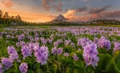 MAYON IN BLOOM by Edwin Martinez on 500px