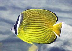 チョウチョウウオ | 魚類図鑑・チョウチョウウオ