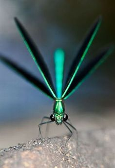 Turquoise Dragonfly -- Dragonflies were some of the first winged insects to evolve, some 300 million years ago. Modern dragonflies have wingspans of only two to five inches, but fossil dragonflies have been found with wingspans of up to two feet.