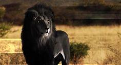 『アルビノ』の対極『メラニズム』、全身真っ黒のブラックライオン様が激写される!?