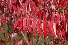 Sumac is a fall-foliage superstar. This type is harmless (it's *not* poison sumac, which is a different plant but also has great fall color). Discover the facts about sumac here, including some of the different types and its culinary uses: http://landscaping.about.com/cs/landscapecolor/a/sumac.htm