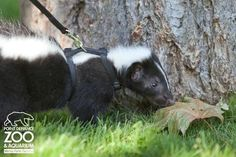 ZooBorns Baby Skunk 4