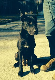 Patsy (Cline) is an adoptable Dog - Black Labrador Retriever Mix searching for a forever family near Slidell, LA. Use Petfinder to find adoptable pets in your area.