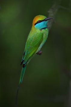 Green Bee Eater - (Merops orientalis) - Yala National Park - Sri Lanka.
