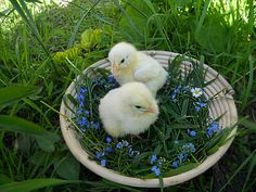Two fluffy chicks in a wicker basket on the grass - Two fluffy chicks in wicker basket with small blue flowers on the background of grass. Cute fluffy easter egger chicks symbol of spring holiday.