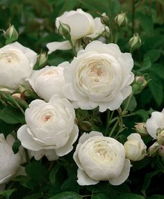 Claire Austin Climbing - David Austin Roses climbing on fence? Image Beautiful, Beautiful Roses, White Flowers, Beautiful Flowers, Rose Flowers, Claire Austin Rose, Rosas David Austin, White Climbing Roses, David Austin Climbing Roses