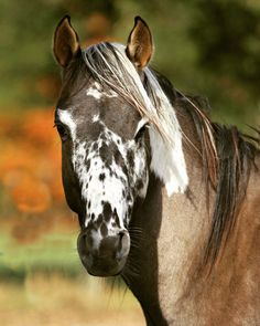 Fair-minded approved percherons look at here now All The Pretty Horses, Beautiful Horses, Animals Beautiful, Cheval Pie, Paint Horse, Horse Coat Colors, Horse Markings, Types Of Horses, Horse Portrait
