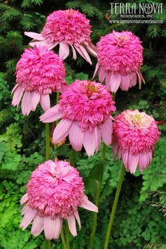 Echinacea 'Secret Romance' - You will be delighted and amazed with the wonderful and very large, warm pink 'Coral Reef' style double flowers. In addition 'Secret Romance' has a lovely, well-branched compact habit. You will want to romance this one. Bouquets of cut flowers from just one plant!