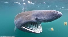 http://www.dutchsharksociety.org/follow-the-food/  Basking sharks follow their food: plankton!  Picture by Alex Mustard