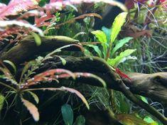 Simon's Aquascape Blog Diskus Aquarium, Planted Aquarium, State Art, Say Hello, Plant Leaves, Shrimp, Plants, Photography, Aquascaping