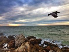 Pelican slowly flying into the wind off of Bonita Beach. #SWFL #Florida #Love FL