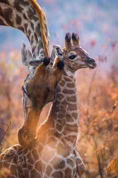 A giraffe mother with her calf in Pilanesberg National Park, South Africa © Rodney Nombekana Africa Travel Destinations Safari Animals, Nature Animals, Animals And Pets, Baby Animals, Baby Elephants, Wildlife Photography, National Geographic Photography, Animal Photography, Giraffe Pictures