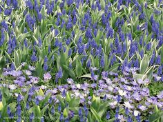 Rose Quartz & Serenity - My flower inspirations. Muscari