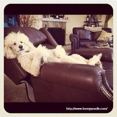 Poodle just chillin'
