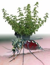 "Mosquito Repelling Creeping Lemon Thyme Plant - FANTASTIC! - 3"" Pot"