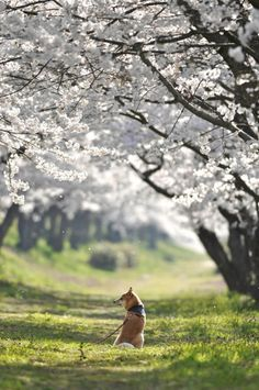 A shiba inu contemplates the cherry blossoms, Japan