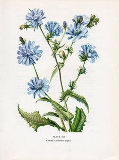 Chickory Botanical Illustration