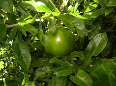 Coité (Crescentia cujete, Bignoniaceae)