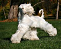 Beautiful gait on this Afghan Hound. Great tail ring too. Afghan Hound Puppy, Hound Dog, Beautiful Dogs, Animals Beautiful, Cute Animals, Big Dogs, Dogs And Puppies, Doggies, Photo Animaliere