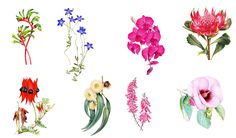 Valued for their ecological and cultural values, Australia's floral emblems represent the beauty and diversity of all our native flowers. Australian Wildflowers, Australian Native Flowers, Australian Plants, Australian Birds, Botanical Tattoo, Botanical Drawings, Botanical Art, Australisches Tattoo, Perth