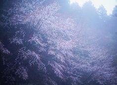 - - - Foggy Sakura - - - #sakura #cherry #tree #mountain #fog #foggy #dusk #kyoto #japan #mantaroq by mantaroq