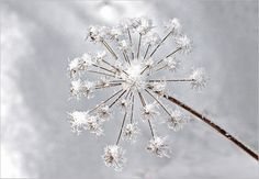 Eisblume Dandelion, Flowers, Plants, Beauty, Dandelions, Plant, Taraxacum Officinale, Royal Icing Flowers, Beauty Illustration
