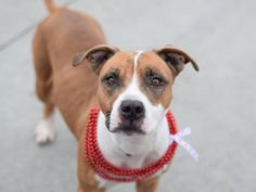 """DIAMOND - A1059874 - - Brooklyn  TO BE DESTROYED 12/19/15 Young Diamond doesn't understand how her people could move someplace she couldn't go. Sitting in a cage at Brooklyn ACC, she sees all the other dogs also waiting and wonders if anyone will even notice her. In good health when she got there, staff also noted that she was """"very friendly, tail wagging, seeks attention, very easy to handle…"""" But Diamond has reason to worry about what will happen to her—ACC as"""