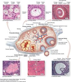 histonano.com books Junqueira's%20Basic%20Histology%20PDF%20WHOLE%20BOOK 22.%20The%20Female%20Reproductive%20System.htm