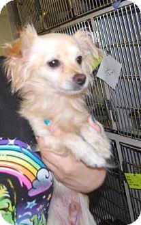 Brooklyn, NY - Chihuahua Mix. Meet Chompers, a dog for adoption. http://www.adoptapet.com/pet/13241571-brooklyn-new-york-chihuahua-mix