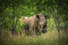 Hope by Quint Kloppers on Wildlife, Animals, Rhinos, Animales, Animaux, Animais, Animal