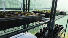 Seedlings coming on nicely in the greenhouse. #allotment #gardenchat