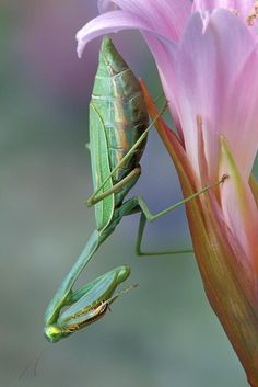 "Female Arizona Mantid, ""Stagmomantis limbata"", on lily"