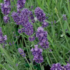 Pflanzen-Kölle Lavendel 'Hidcote Blue' blau, 12 cm Topf.  Als Begleitstaude im Rosengarten oder in Kombination mit anderen Stauden – dieser duftende Lavendel verzaubert in jeder Gartensituation.