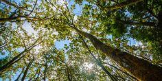 Grüne Giganten im Regenwald von Costa Rica