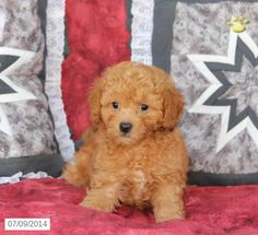 Peki-Poo Puppy for Sale in Pennsylvania Poodle Mix Puppies, Puppies For Sale, Pennsylvania, Dogs, Animals, Animales, Animaux, Pet Dogs, Doggies