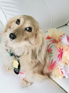 12 Amazing Reasons Dachshunds Are The Cutest Dogs On The Earth As a dog lover, you must know about d Dapple Dachshund, Long Haired Dachshund, Dachshund Puppies, Weenie Dogs, Cute Dogs And Puppies, Dachshund Love, Pet Dogs, Cream Dachshund, Chihuahua Dogs