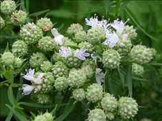 Mountain Mint for butterfly garden