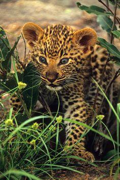This is a very young Leopard cub, photographed at its den site, by Rudi Hulshof