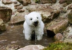 A polar bear cub dipping its face in the river.