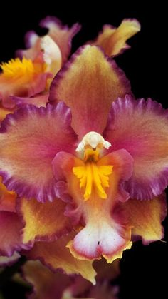 Ondontoglossum Orchid