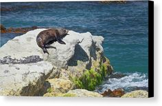 New Zealand Fur Seal Canvas Print by Joan Carroll.  All canvas prints are professionally printed, assembled, and shipped within 3 - 4 business days and delivered ready-to-hang on your wall. Choose from multiple print sizes, border colors, and canvas materials.   #furseal #seal #fur #travel #kaikoura #rocky #shoreline  Visit joan-carroll.pixels.com for more #art #photography #fashion and #homedecor items from #newZealand and around the world!