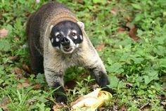 El Pizote es un animal diurno que habita los bosques de nuestro país, se alimenta de frutas; huevos y animales pequeños.COSTA RICA.