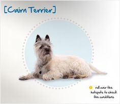 """Did you know one of the most famous on-screen dogs ever, Toto from """"The Wizard of Oz,"""" was a Cairn Terrier? Read more about this breed by visiting Petplan pet insurance's Condition Checker!"""